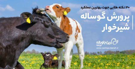 پرورش گوساله شیرخوار