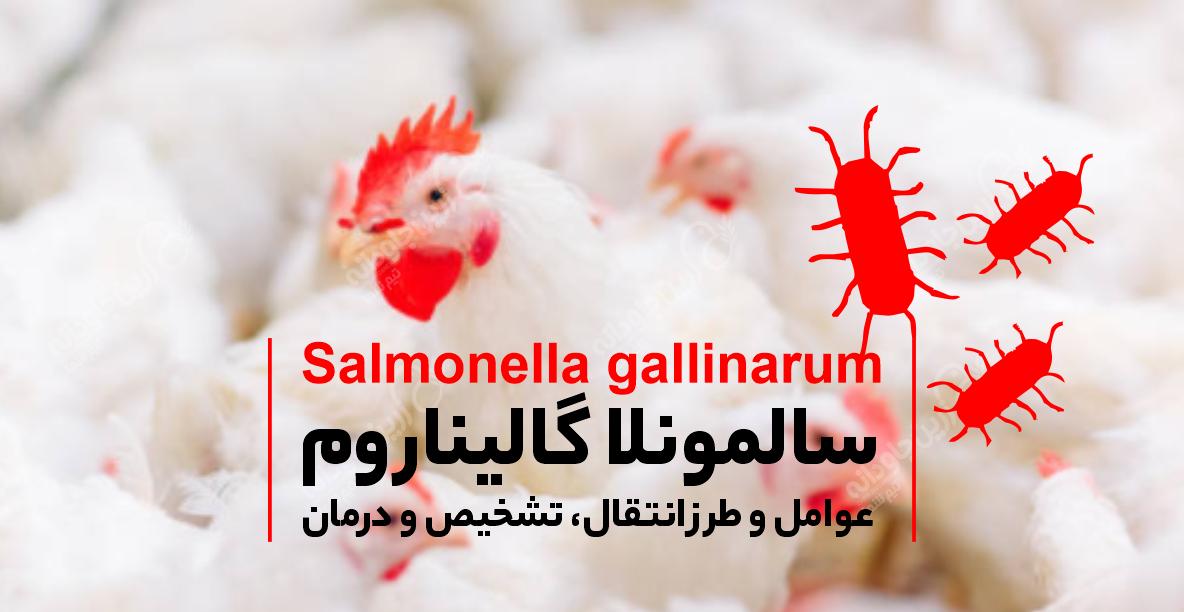 سالمونلا گالیناروم